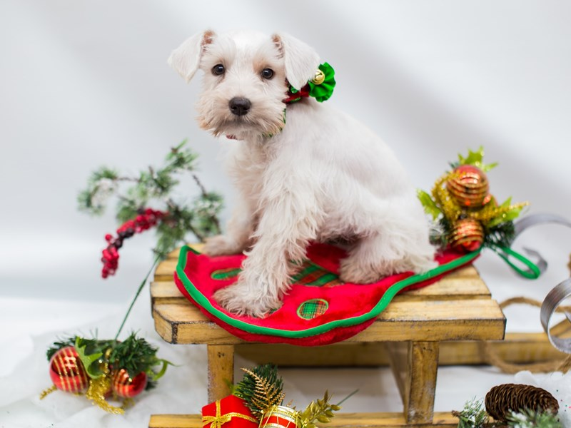 Miniature Schnauzer-DOG-Female-White-2532774-Petland Wichita, KS