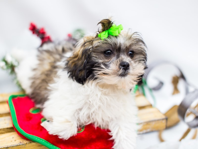 Shih Poo-Female-Gold and White-2532520-Petland Wichita, KS