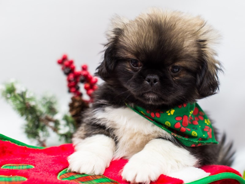 Peke-A-Poo-Male-Dark Sable-2532511-Petland Wichita, KS