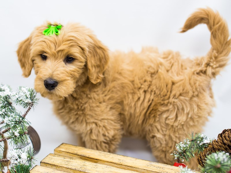 Goldendoodle-Female-Darker Gold-2539703-Petland Wichita, KS