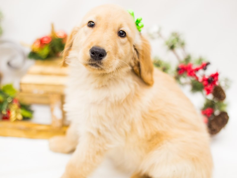 Golden Retriever-Female-Gold-2539636-Petland Wichita, KS