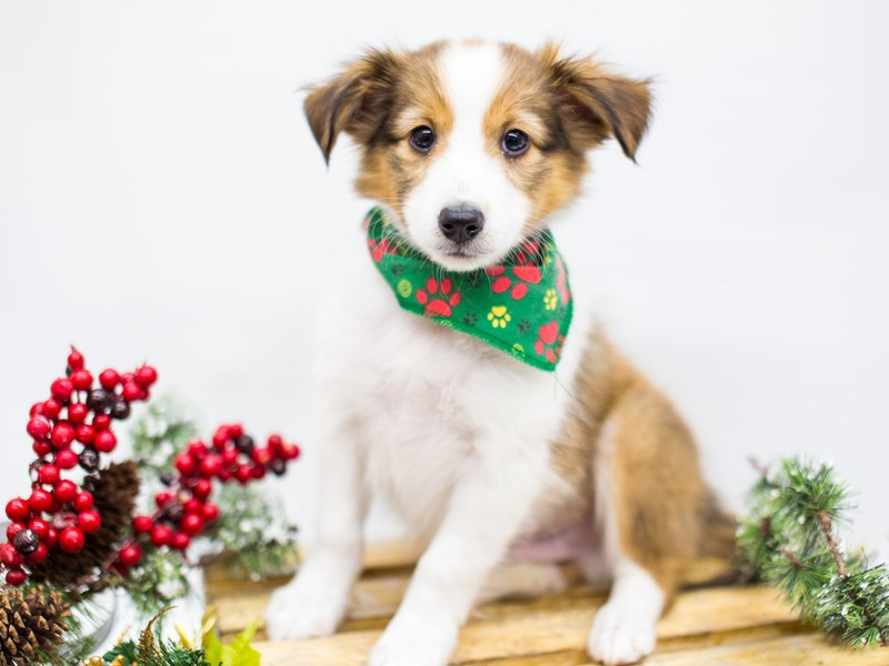 Shetland Sheepdog-Male-Sable and White-2539300-Petland Wichita, KS