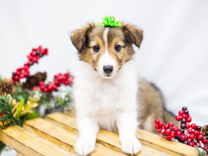 Shetland Sheepdog-Male-Sable and White-2539299-Petland Wichita, KS