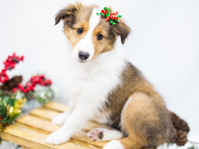 Shetland Sheepdog-DOG-Female-Sable and White-2539286-Petland Wichita, KS