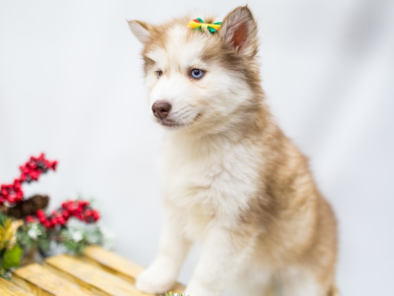 Siberian Husky-Female-Red  & White-2539188-Petland Wichita, KS