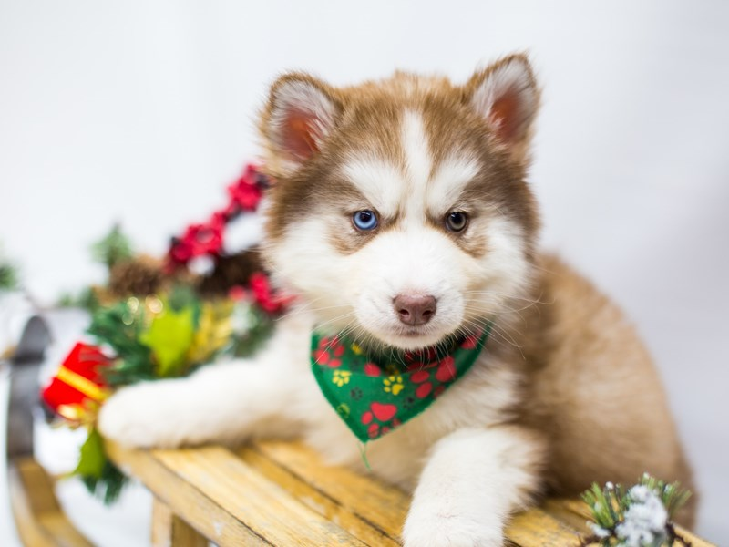 Siberian Husky-Male-Red  & White-2539184-Petland Wichita, KS