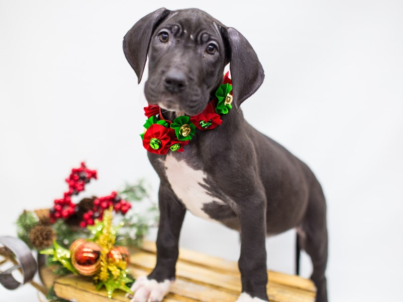 Great Dane-Female-Black-2539148-Petland Wichita, KS