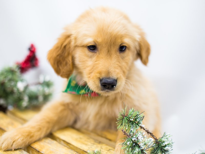 Golden Retriever-Male-Gold-2539601-Petland Wichita, KS