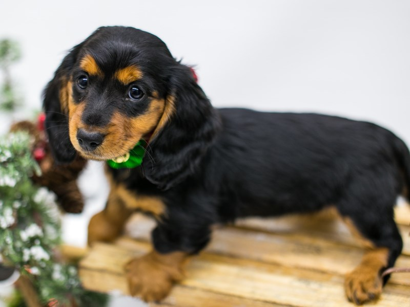 Miniature Dachshund-DOG-Female-Black & Tan - Long Hair-2546195-Petland Wichita, KS