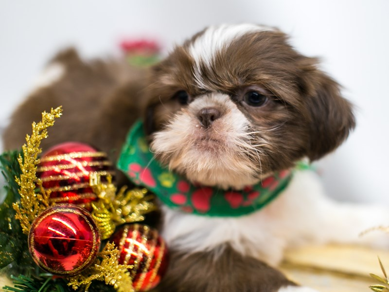 Shih Tzu-Male-Chocolate and White-2546172-Petland Wichita, KS