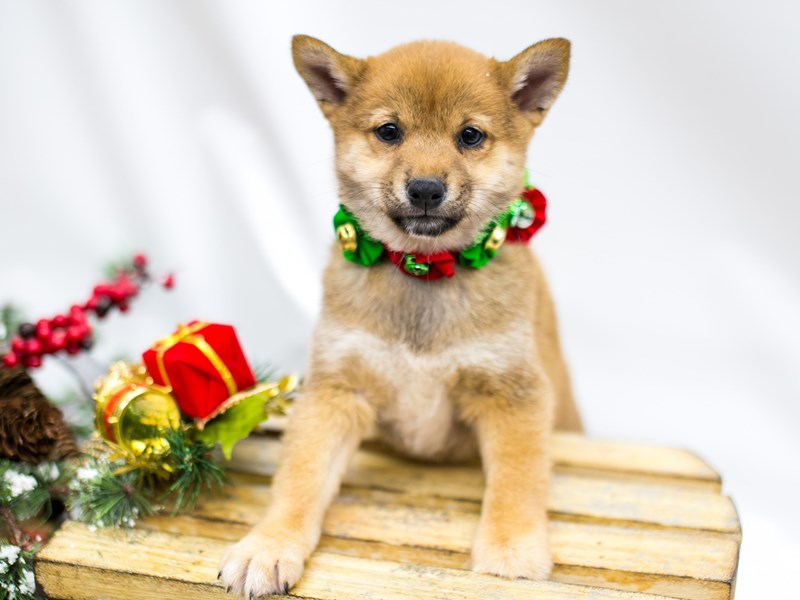 Shiba Inu-DOG-Female-Sesame White Chest-2545908-Petland Wichita, KS