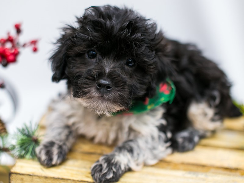 Hava Poo-Male-Black & White-2545874-Petland Wichita, KS