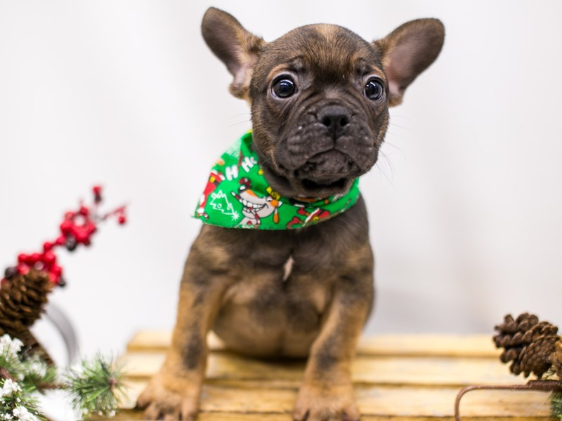 2nd Gen. Frenchton-DOG-Male-Dark Sable-2545864-Petland Wichita, KS