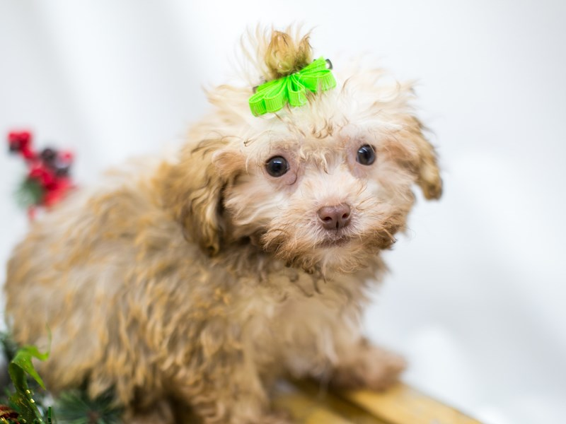 Havanese-Female-Chocolate Fawn-2545836-Petland Wichita, KS