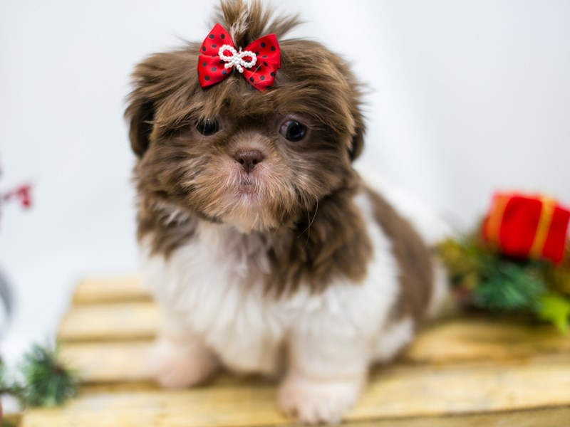 Shih Tzu-DOG-Female-Chocolate & White-2545830-Petland Wichita, KS