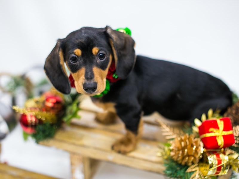 Miniature Dachshund-DOG-Female-Silver Dapple-2545779-Petland Wichita, KS