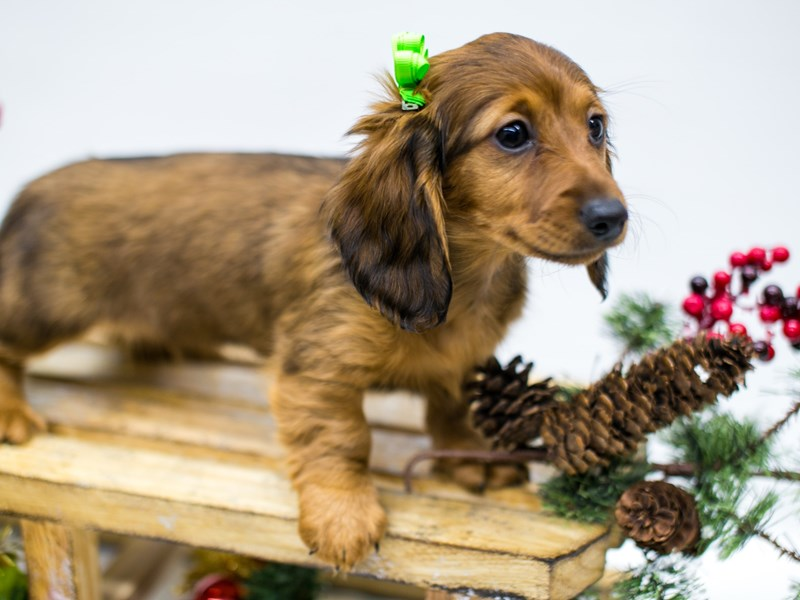 Miniature Dachshund-DOG-Female-Wild Boar - Long Hair-2545773-Petland Wichita, KS