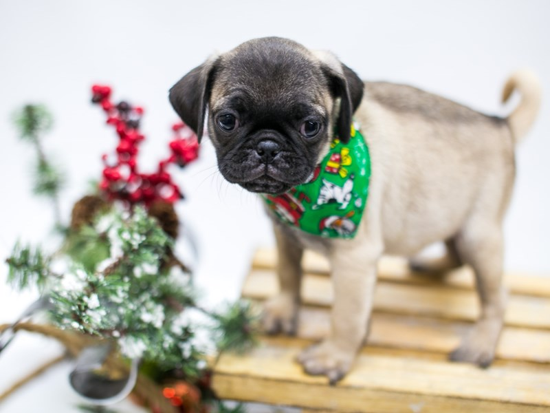 Pug-Male-Fawn-2545733-Petland Wichita, KS