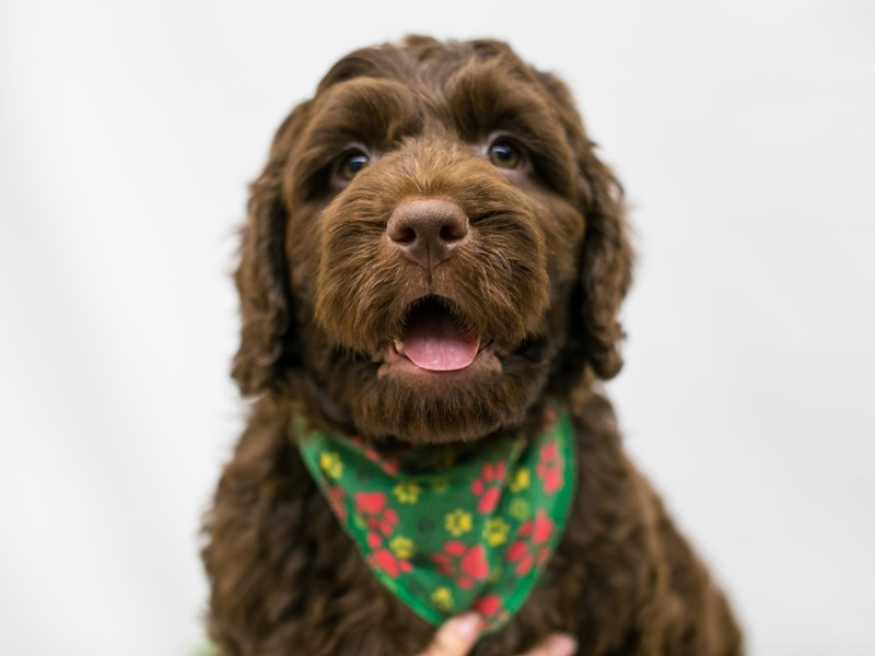 Labradoodle-Male-Chocolate-2545667-Petland Wichita, KS