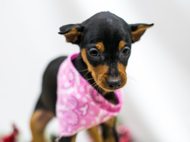 Min Pin-Female-Black and Rust-2545601-Petland Wichita, KS