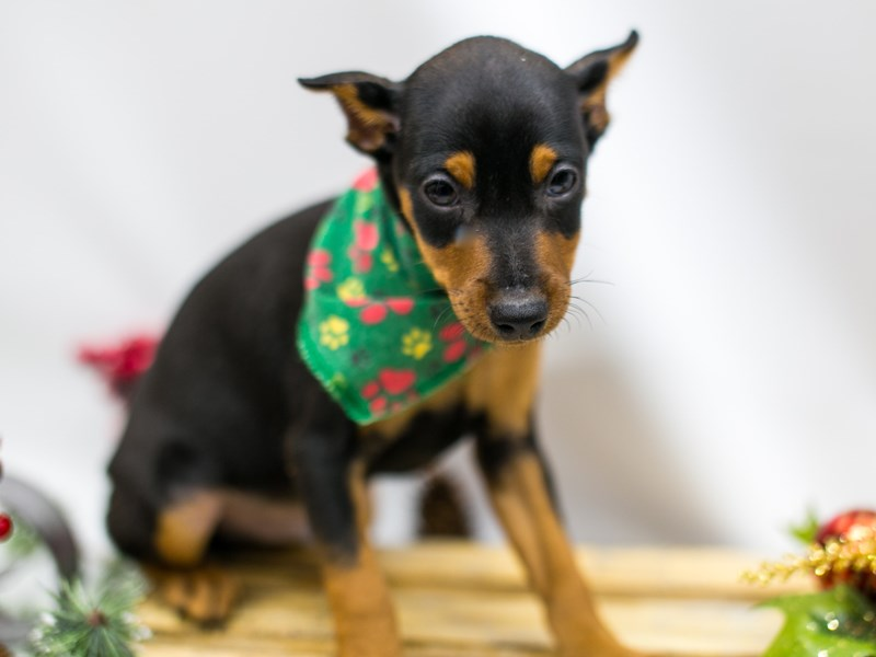 Min Pin-Male-Black and Rust-2545579-Petland Wichita, KS