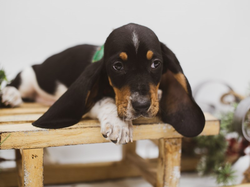 Basset Hound-Male-Black, White, Tan-2556155-Petland Wichita, KS