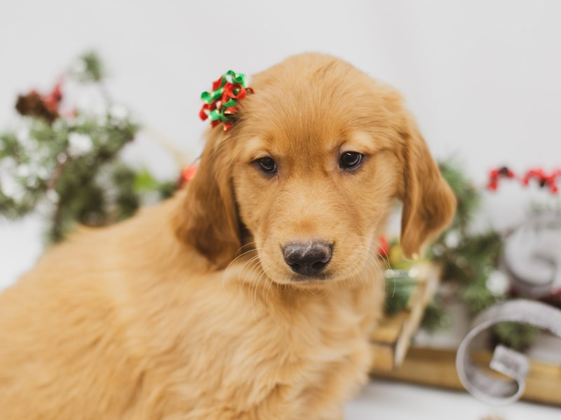 Golden Retriever-DOG-Female-Dark Golden-2556143-Petland Wichita, KS