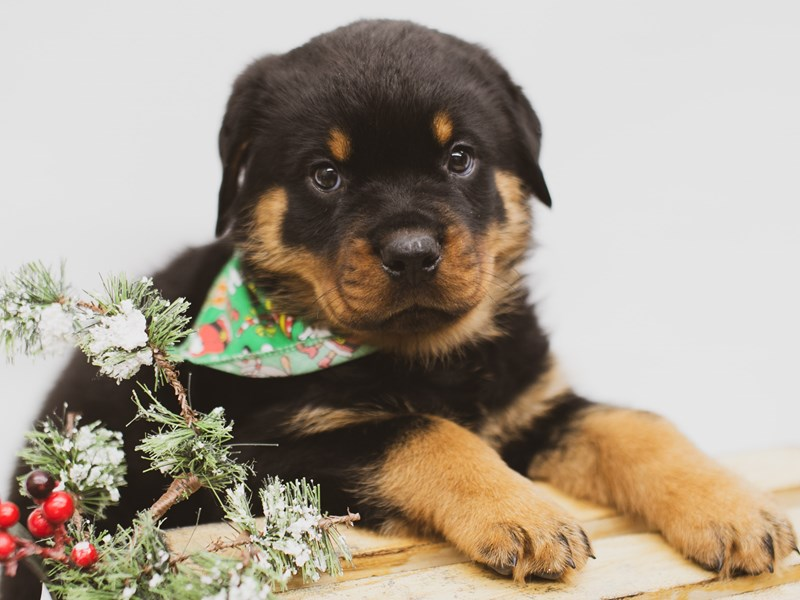 Rottweiler-Male-Black & Tan-2563562-Petland Wichita, KS