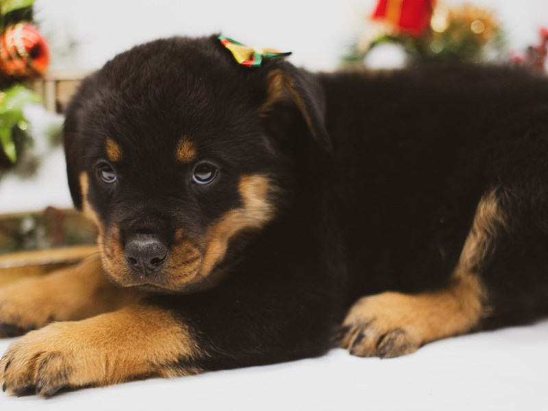 Rottweiler-Female-Black & Tan-2563565-Petland Wichita, KS