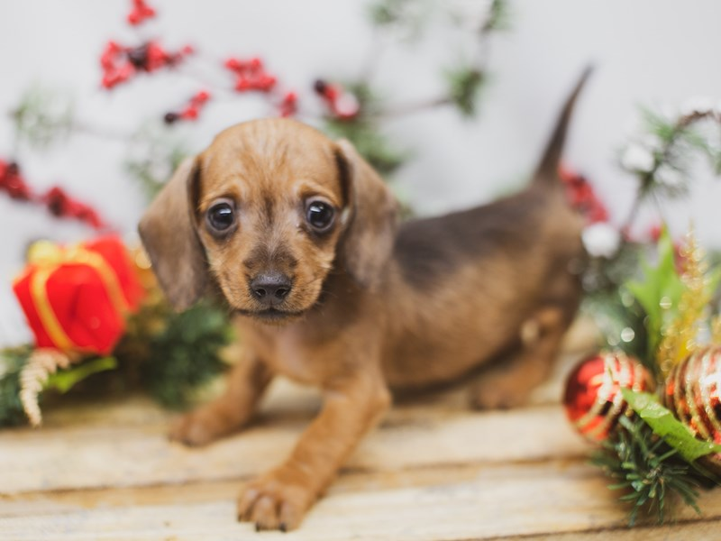 Miniature Dachshund-Male-Red-2563598-Petland Wichita, KS