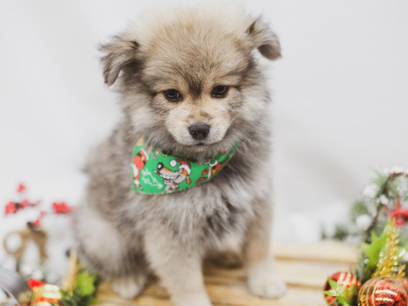 Pomeranian-DOG-Male-Sable-2563342-Petland Wichita, KS