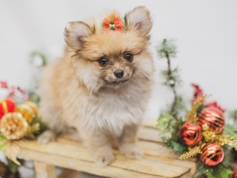 Pomeranian-Female-Red Sable-2563499-Petland Wichita, KS