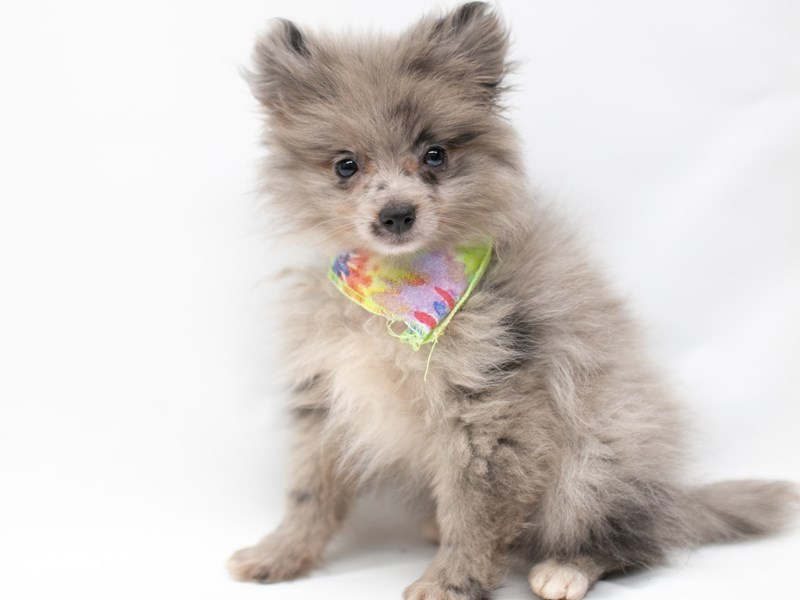 Pomeranian-Male-Blue Merle-2571681-Petland Wichita, KS