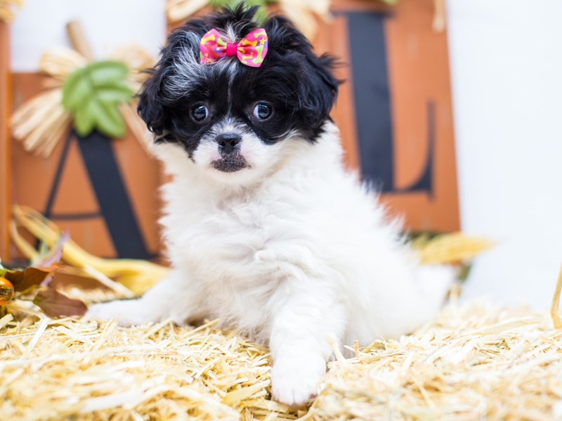 Peke-A-Poo-DOG-Female-Black and White-2518979-Petland Wichita, KS