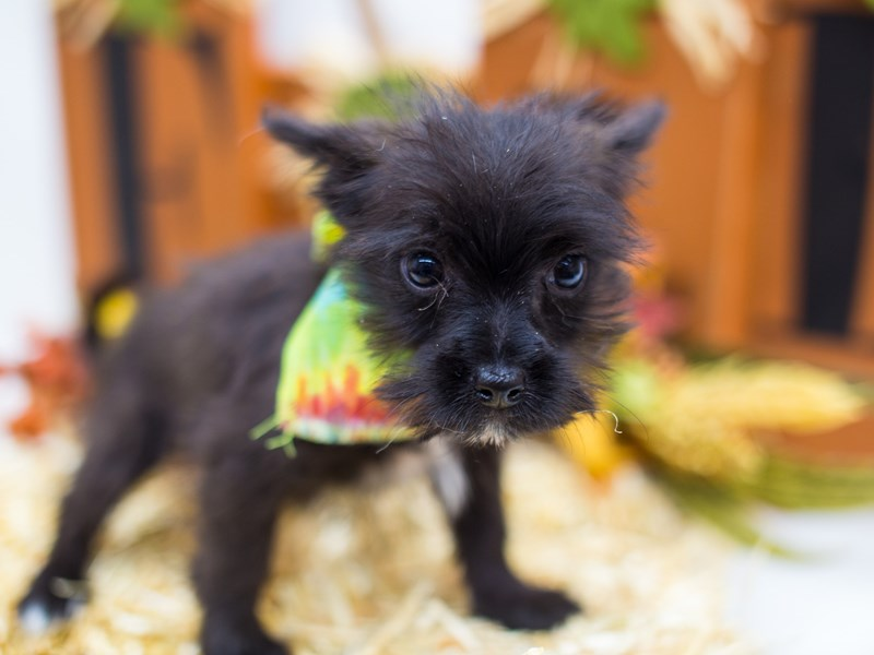 Toy Maltipom-Male-Black-2518788-Petland Wichita, KS
