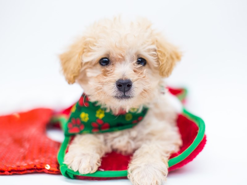 Toy Poodle-Male-Apricot-2525687-Petland Wichita, KS