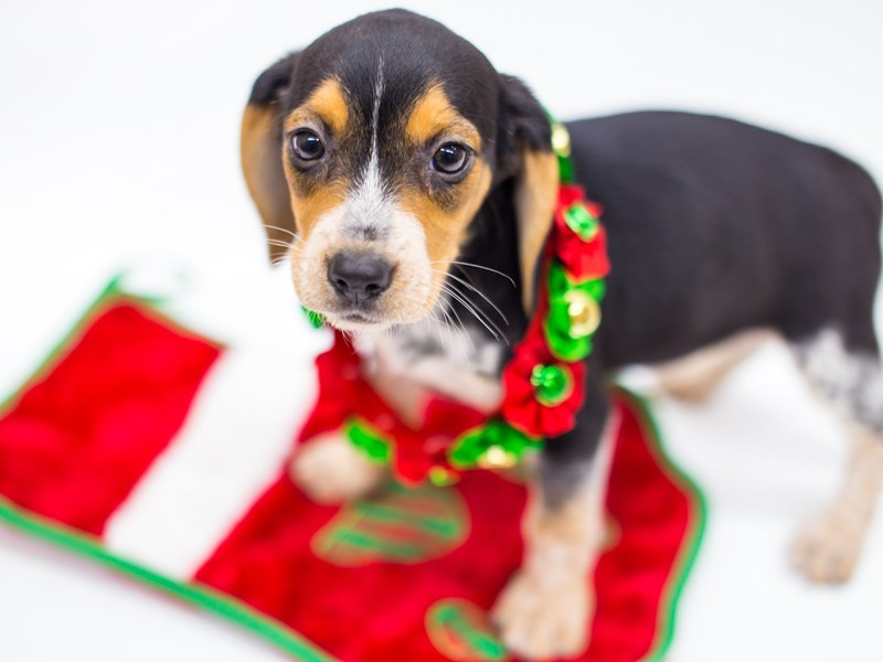 Beagle-Female-Tri Color-2525341-Petland Wichita, KS