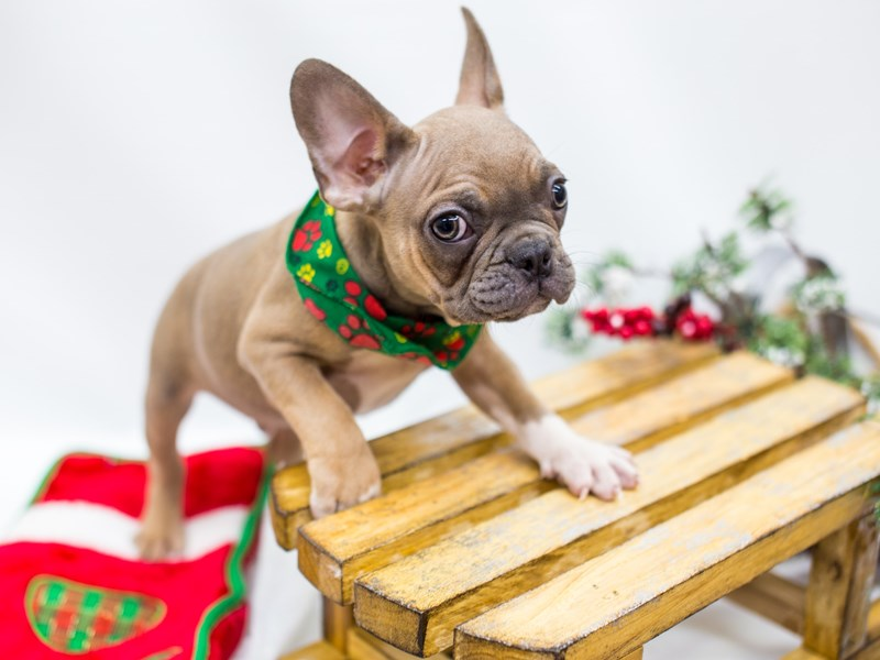 French Bulldog-DOG-Male-Blue Fawn-2532788-Petland Wichita, KS