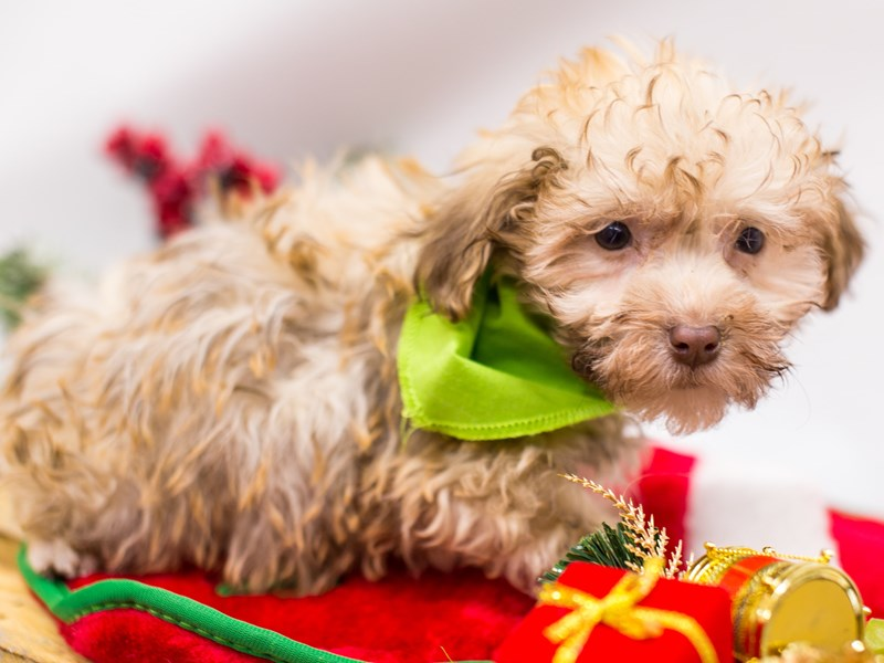 Havanese-Male-Light Brown-2533080-Petland Wichita, KS
