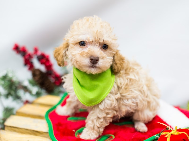 Toy Poodle-Male-Cafe-2532758-Petland Wichita, KS