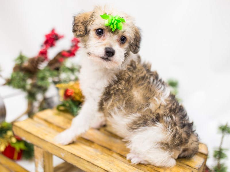 Maltipoo-DOG-Female-Gold and White-2539945-Petland Wichita, KS