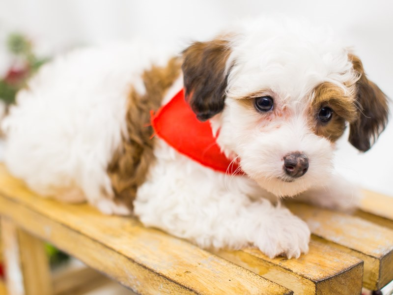 Maltipoo-Male-Red and White-2539942-Petland Wichita, KS