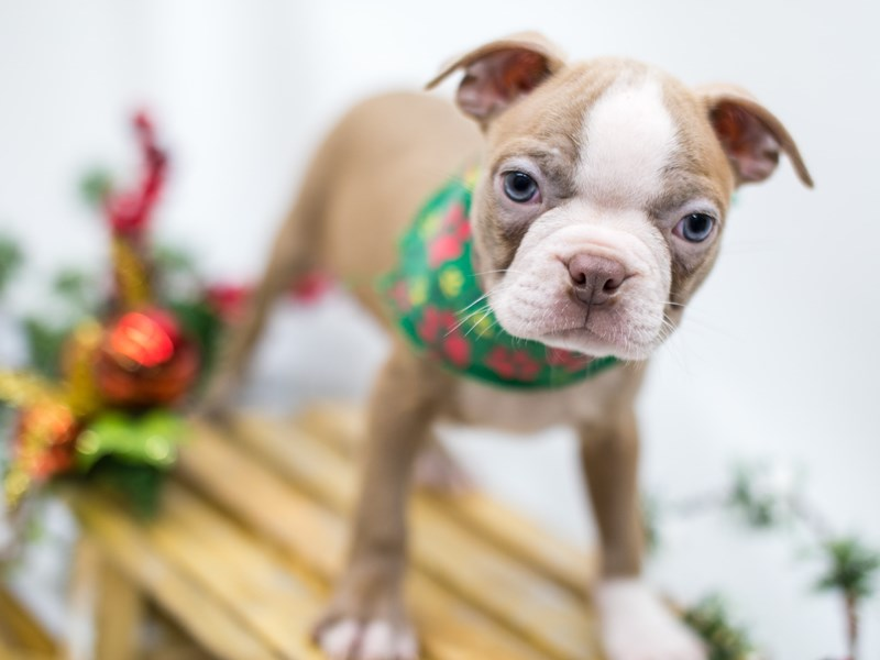 Boston Terrier-Male-Lilac-2545914-Petland Wichita, KS
