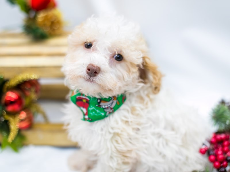 Toy Poodle-Male-Apricot Parti-2545892-Petland Wichita, KS