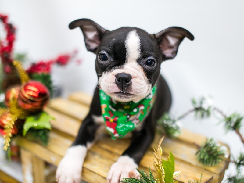 Boston Terrier-Male-Black & White-2545844-Petland Wichita, KS