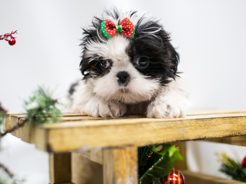 Shih Tzu-Female-Black & White-2545827-Petland Wichita, KS
