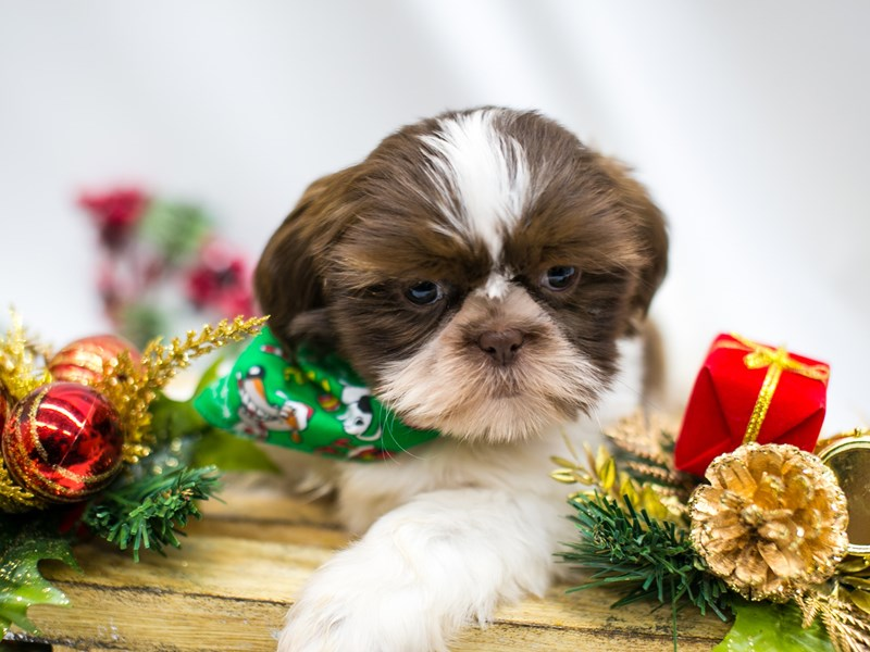Shih Tzu-DOG-Male-Chocolate-2545824-Petland Wichita, KS