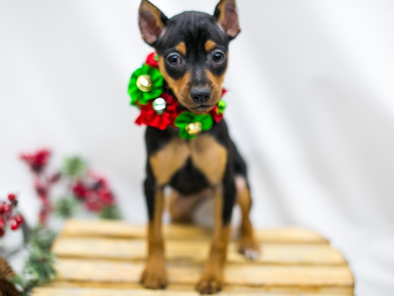 Min Pin-Female-Black and Rust-2545608-Petland Wichita, KS