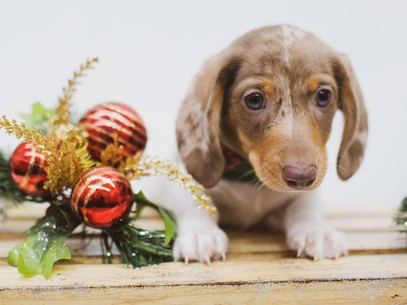 Miniature Dachshund-Male-Red Dapple Pibald-2556286-Petland Wichita, KS