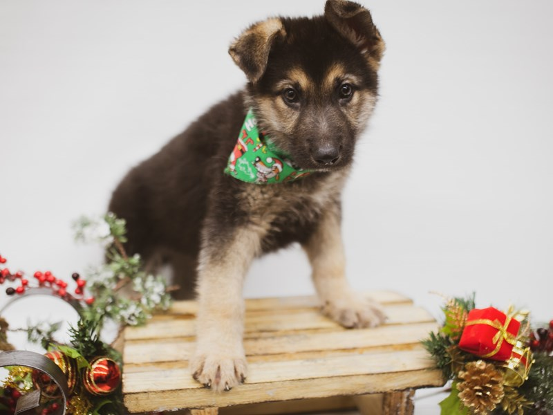 German Shepherd-DOG-Male-Black & Tan-2563188-Petland Wichita, KS